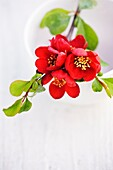 Chaenomeles flowering quince resting across white ceramic container.