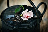 Rose flower and antique secatuers resting across weathered metal watering can.