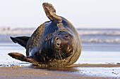 Seal grey (Halichoerus grypus) Donna Nook National Nature Reserve, Lincolnshile, England, U.K., Europe.