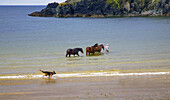 Walking Injured Horse, Dunabrattin Cove, The Copper Coast, County Waterford, Ireland.