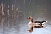 Greylag Goose (Anser anser). France