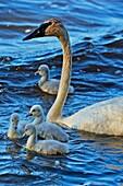 Trumpeter swan (Cygnus buccinator) Adults feeding in pond with young, Seney NWR, Seney, Michigan, USA.