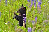 Black bear (Ursus americanus) Cub standing in flower field, captive raised, Minnesota wildlife Connection, Sandstone, Minnesota, USA.