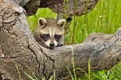 Raccoon (Procyon lotor) Baby exploring old stump, captive, Minnesota wildlife Connection, Sandstone, Minnesota, USA.