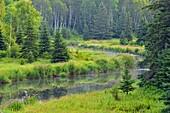 Joe-pye-weed colonies flowering on the banks of Junction Creek in late summer, Greater Sudbury, Ontario, Canada.