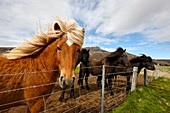 icelandic horses iceland.