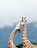 Giraffes in Nothern California preserve  for breeding and preservation of African animals Located in Point Arena, California, the animals range from critically endangered to endangered and include various species of zebra, giraffe, and antelope