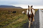 'Icelandic horses walking along a road; Iceland'