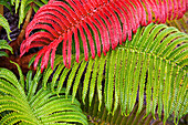 'Native Ama'u ferns; Haleakala, Maui, Hawaii, United States of America'