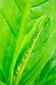 Detail of a young Skunk Cabbage leaf unfurling, Ketchikan, Southeast Alaska, USA, Spring