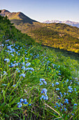 Close up of a patch of Forget-me-not flowers on a south Anchorage hillside, summer