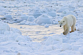 'Polar bear (ursus maritimus) along the Hudson Bay coast waiting for the bay to freeze over; Manitoba, Canada'