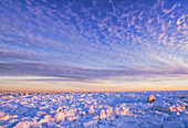 'Polar bear (ursus maritimus) along the Hudson Bay coast at sunset waiting for the bay to freeze over; Churchill, Manitoba, Canada'