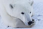 'Close up of a polar bear (ursus maritimus); Churchill, Manitoba, Canada'