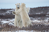 'Polar bears (ursus maritimus) sparring on the coast of Hudson Bay; Manitoba, Canada'