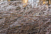'Ice freezes on willow branches; Olney, Oregon, United States of America'