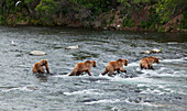 Four Brown bears (Ursus arctos) wade in Brooks River while fishing for Sockeye salmon, Katmai National Park and Preserve, Southwest Alaska