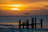 'Sunrise over the ocean with a pelican in flight; Playa del Carmen, Quintana Roo, Mexico'