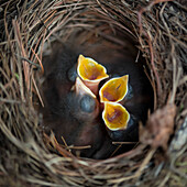 'Chicks in a nest with open mouths; Ontario, Canada'