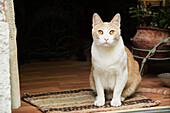 'White and yellow cat in a doorway seated on a mat; Argentina'