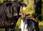 'Free range cow and calf with tag on it's ear; Gaitor, Florida, United States of America'