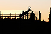 'White-tailed buck (Odocoileus virginianus) jumps cattle fence; Reddick, Florida, United States of America'