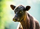 'Free range angus calf; Gaitor, Florida, United States of America'