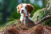 'Bobwhite quail (Colinus virginianus) and Brittany spaniel; Gaitor, Florida, United States of America'