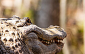 'Alligator (Alligator mississippiensis) smiling; Silver Springs, Florida, United States of America'