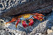 'Adult Sally Lightfoot crab (Grapsus grapsus) under grey rock; Galapagos Islands, Ecuador'