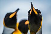 'Close up of King Penguin (Aptenodytes patagonicus) staring at camera; Antarctic'