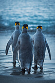 'Three king penguins (Aptenodytes patagonicus) are crossing a wet, sandy beach on their way to the ocean, with grey backs and flippers with black and orange heads; Antarctica'