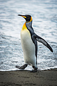 'King penguin (Aptenodytes patagonicus) on sandy beach at water's edge; Antarctica'