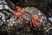 'Sally Lightfoot crab (Grapsus grapsus) perched on wet rock; Galapagos Islands, Ecuador'