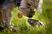 'A cute Yorkie dog sniffing a little baby bunny rabbit nestled in the grass; Kentucky, United States of America'