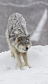 'Grey wolf (Canis lupus) stretching before playing in the snow; Montebello, Quebec, Canada'