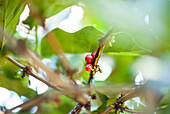 'Coffee cherries on the tree, ready to be harvested; Sumatra, Indonesia'