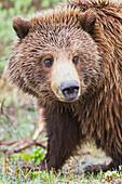 Close up of a Grizzly bear in Denali National Park & Preserve, Interior Alaska, Summer.
