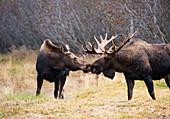 'A bull moose in rut ''kissing'' a cow moose in Kincaid Park near the Tony Knowles Coastal Trail, Anchorage Alaska, autumn  '