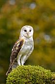 'Barn owl (Tyto alba) portrait; Saint-Lazare, Quebec, Canada'