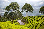 'A man walks a winding road through a plantation of tea isolated and alone; Sumatra, Indonesia'