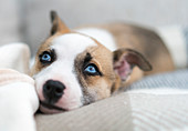 'A dog with bright blue eyes resting on a checkered blanket; South Shields, Tyne and Wear, England'