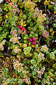 Lowbush cranberries (also known as lingonberries) (Vaccinium vitis-idaea) and crowberries (Empetrum nigrum) outlined in frost in early morning in fall, Denali National Park and Preserve, Interior Alaska, USA.