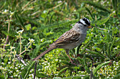 'A White-crowned sparrow (Zonotrichia leucophrys) looks for tender greens to eat; Newport, Oregon, United States of America'