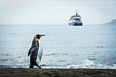 'King penguin (Aptenodytes patagonicus) walking with ship in distance; Antarctica'