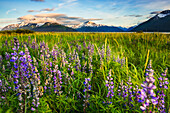 Arctic Lupine field along the Turnagain Arm south of Girdwood, Southcentral Alaska.