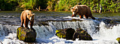 Brown bears (Ursus arctos) standing at Brooks Falls while fishing for sockeye salmon, Katmai National Park and Preserve, Southwest Alaska