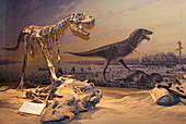 'Dinosaur displays at the Royal Tyrell Museum Of Palaeontology; Drumheller, Alberta, Canada'