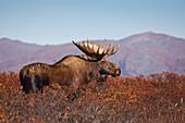 Moose (Alces alces) bull walking on a ridge among Diamond-leaf willow, Denali National Park and Preserve, Interior Alaska, Autumn