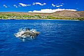 'Spinner dolphin (Stenella longirostris) off the Four Seasons Resort Lanai at Manele Bay on Hulopoe Beach; Island of Lanai, Hawaii, United States of America'